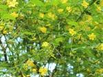 【トオヤマグリーン】ハマヒサカキ 販売・価格(植木の種類と ...