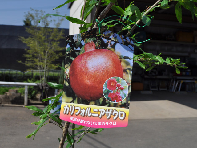 15cmポット ザクロ/アメリカンザクロ  【トオヤマグリーン】ザクロ/アメリカンザクロ 販売商